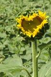 Sunflower heart Royalty Free Stock Photo