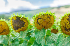 Sunflower with heart shape Royalty Free Stock Images