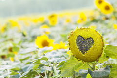 Sunflower with heart shaped figure on natural background stock photo