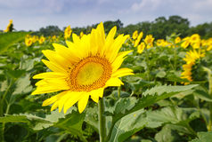 Sunflower (Helianthus) Stock Photos