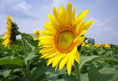 Sunflower (Helianthus) Royalty Free Stock Image