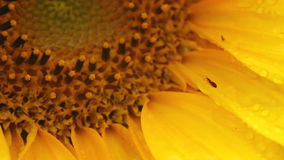 Sunflower - Helianthus annus - HD Royalty Free Stock Images