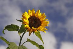 Sunflower, Helianthus annuus Royalty Free Stock Photo