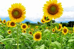 Sunflower Helianthus annuus stock images