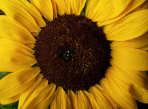 Sunflower Helianthus annuus Royalty Free Stock Photo