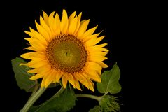 Sunflower, Helianthus annuus Royalty Free Stock Photos