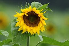 Sunflower (Helianthus annuus) Stock Photography