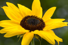 Sunflower - Helianthus annuus Stock Images