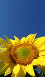 Sunflower (helianthus annuus). With blue sky royalty free stock photos