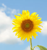 Sunflower, Helianthus annuus Stock Photo