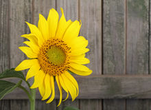 Sunflower, Helianthus annuus Royalty Free Stock Photography