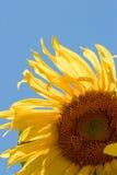 Sunflower (Helianthus annuus) Stock Photos