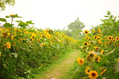Free Sunflower Helianthus Annuus Royalty Free Stock Photography - 25398177