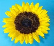 Sunflower (Helianthus annuus) Stock Images