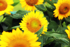The sunflower. (Helianthus annuus) is an annual plant native to the Americas. It possesses a large inflorescence (flowering head), and its name is derived from Stock Image