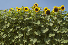 Sunflower Helianthus annuus. Beautiful sunflower Helianthus annuus in a field Stock Images