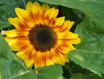 Sunflower Or Helianthus Annuus Stock Images