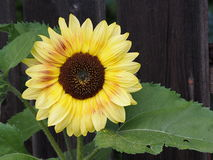 Sunflower Or Helianthus Annuus Stock Photography