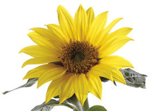 Sunflower (Helianthus annuus), close-up Stock Photo