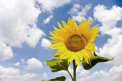Sunflower (Helianthus annuus), close-up Stock Photos