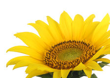 Sunflower, Helianthus annuus, closeup Royalty Free Stock Photo