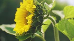 Sunflower Helianthus annuus in the field. Close-up stock footage