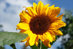 Sunflower (Helianthus annuus). Flourishing sunflower (Helianthus annuus) in a garden royalty free stock photos