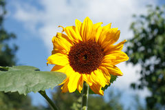 Sunflower (Helianthus annuus). Flourishing sunflower (Helianthus annuus) in a garden stock photo