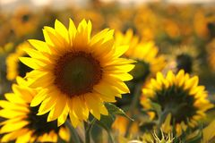 Free Sunflower Helianthus Annuus In The Field At Dusk Close Up Of Fresh Growing Backlit By Light Setting Sun August Poland Stock Photo - 154480580