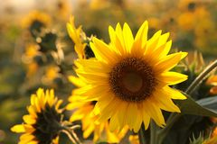 Free Sunflower Helianthus Annuus In The Field At Dusk Close Up Of Growing Backlit By Light Setting Sun August Poland Royalty Free Stock Photos - 154968858