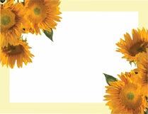 Sunflower, Helianthus annuus, invitation Stock Photos