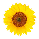 Sunflower (Helianthus annuus) isolated Stock Image