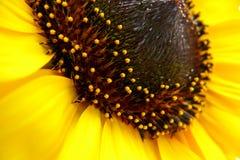 Sunflower (Helianthus annuus) Stock Image