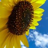Sunflower (Helianthus annuus) Royalty Free Stock Photos