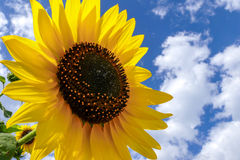 Sunflower (Helianthus annuus) Royalty Free Stock Images