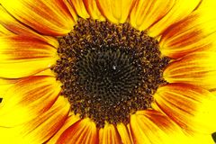 Sunflower (Helianthus annuus Merida Bicolor. Ornamental summer pant Royalty Free Stock Images
