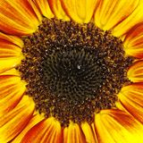 Sunflower (Helianthus annuus)  ornamental summer pant Stock Image