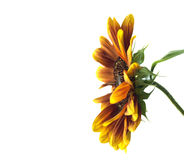 Sunflower Helianthus annuus over white Royalty Free Stock Photos