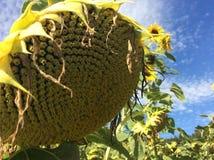 Sunflower. Helianthus annuus - Sonnenblume Royalty Free Stock Photo