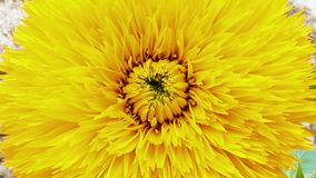 Sunflower Helianthus annuus Teddy Bear stock video