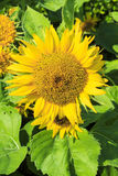 Sunflower Helianthus annuus. Sunflower, the trunk is straight, about 3-4 feet high, but if planted in the cold can be as high as 6 feet leaves are alternate. The royalty free stock images