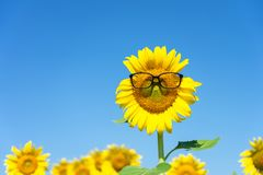 Sunflower Helianthus annuus Wearing black eye glasses. Sunflower blooming in the middle of the sunflower plantation Blaze in the royalty free stock images