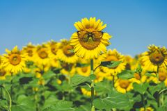 Sunflower Helianthus annuus Wearing black eye glasses. Sunflower blooming in the middle of the sunflower plantation Blaze in the royalty free stock image