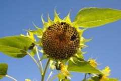Sunflower (Helianthus) Stock Images
