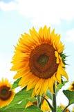 Sunflower (Helianthus) Stock Photo