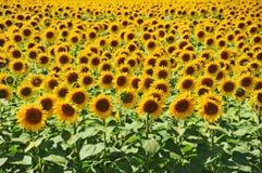 Sunflower (Helianthus) field Stock Image