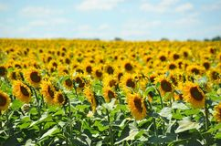 Sunflower Helianthus field Stock Photography
