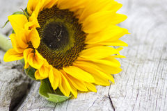 Sunflower (Helianthus) Royalty Free Stock Images
