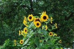 Sunflower Helianthus plant Royalty Free Stock Image