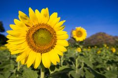 Sunflower or Helianthus in Sunflower Field Stock Photos